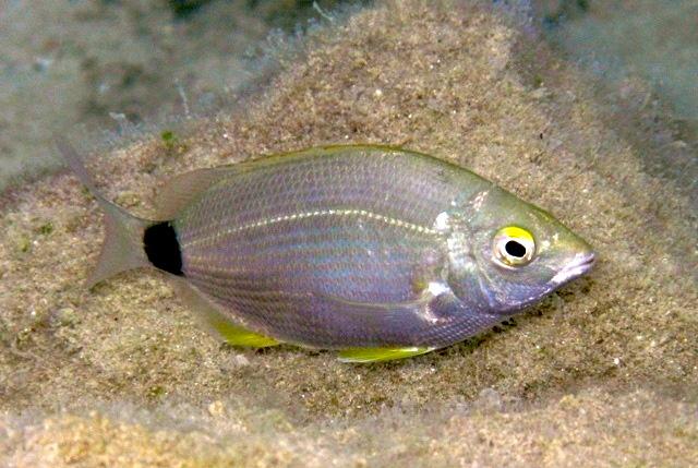 Sarago Sparaglione- Diplodus annularis
