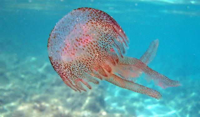 Le meduse si mangiano